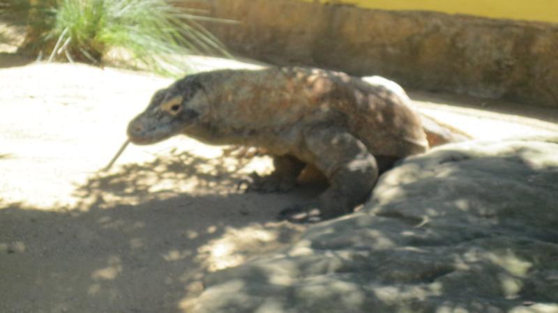 Dragon de Komodo, en el zoo de Sidney .