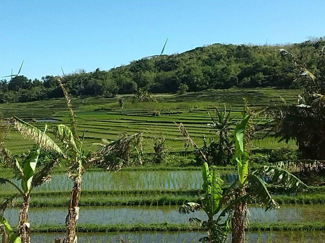 Campos de arroz .