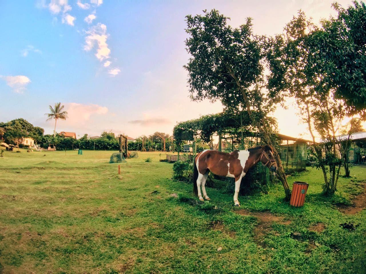 hotel-kimberly-tagaytay-farm-horses